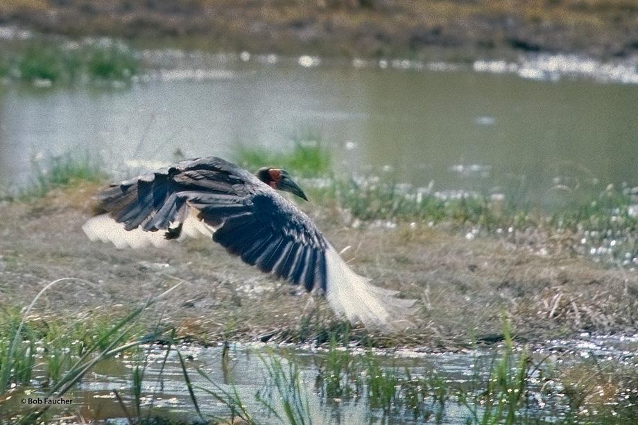 Botswana,Africa,Ground Hornbill, photo