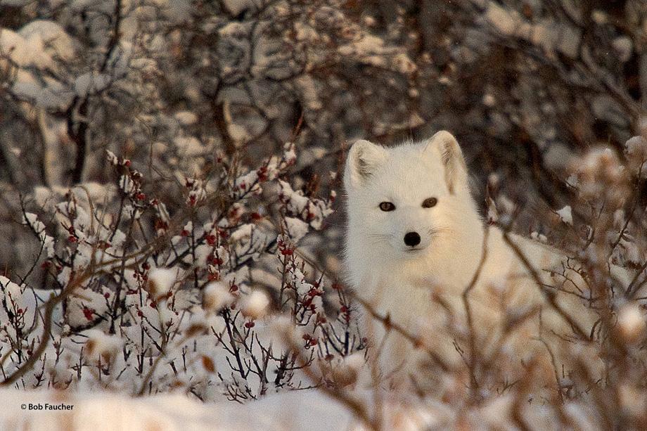 Arctic fox, photo