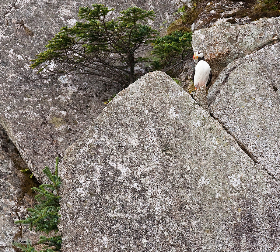 Horned Puffin,Fox Island,Resurrection Bay,Kenai,Fjords NP,Alaska, photo