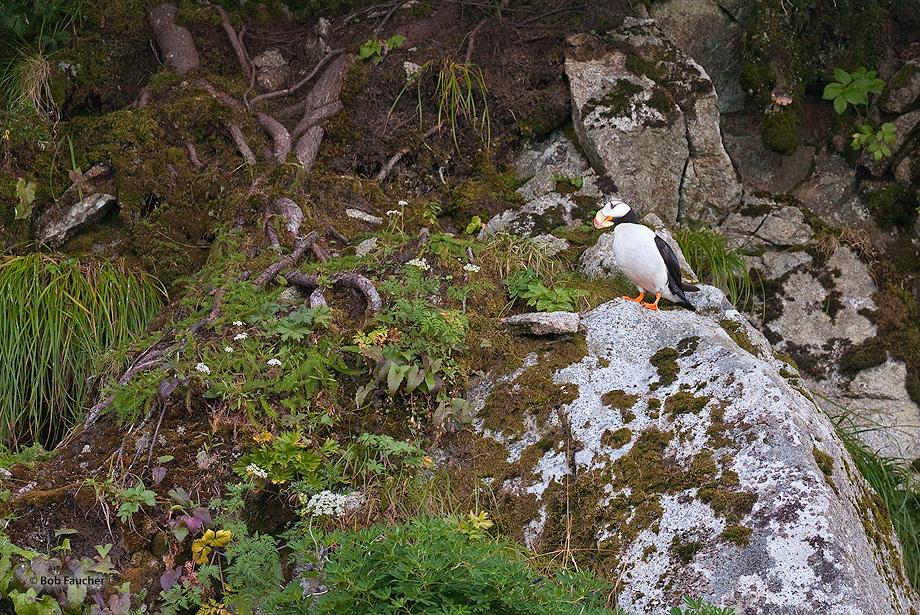 Horned Puffin,Fox Island,Resurrection Bay,Kenai,Fjords NP,Alaska, photo