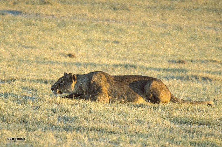 Lying flat against the ground, the lioness surveys her prey, waiting until the animal is close enough to improve the odds of...