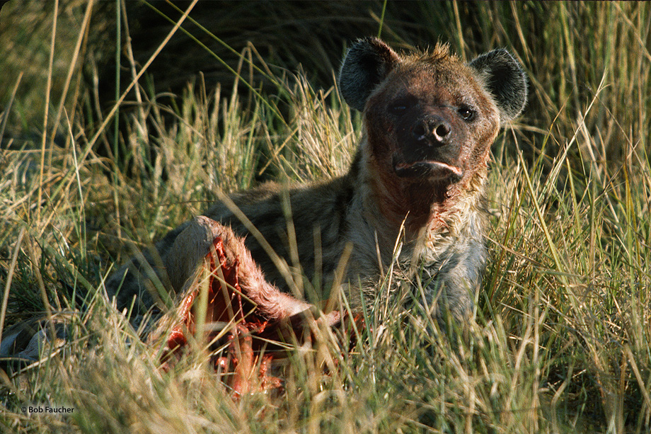 The spotted hyena (Crocuta crocuta) is a highly successful animal, being the most common large carnivore in Africa. Its success...