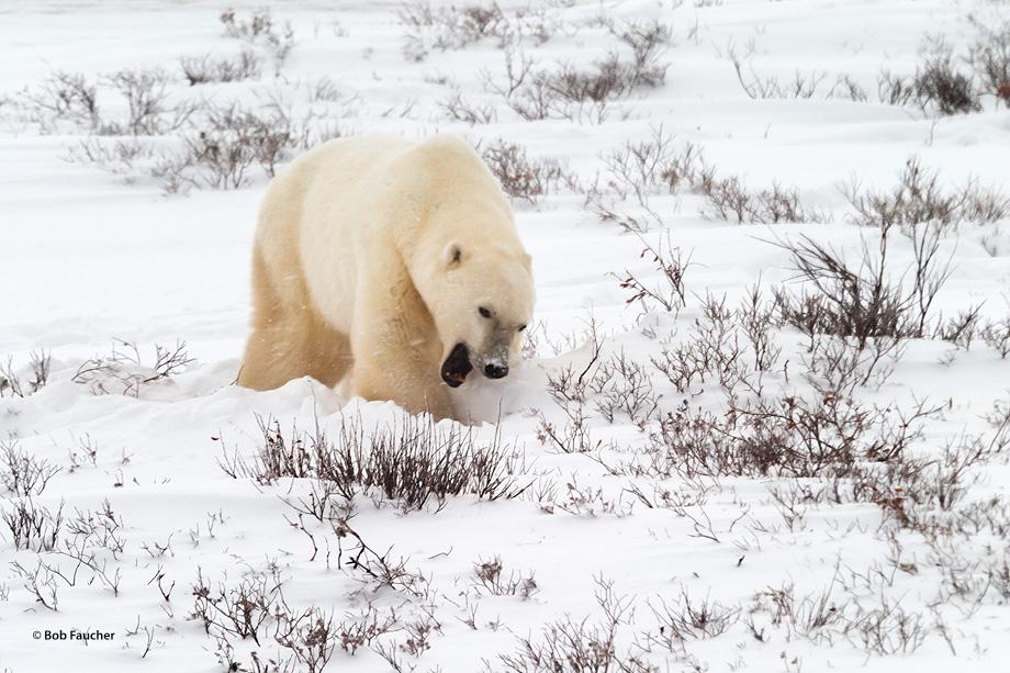 Churchill,Manitoba,Canada,polar bear, photo