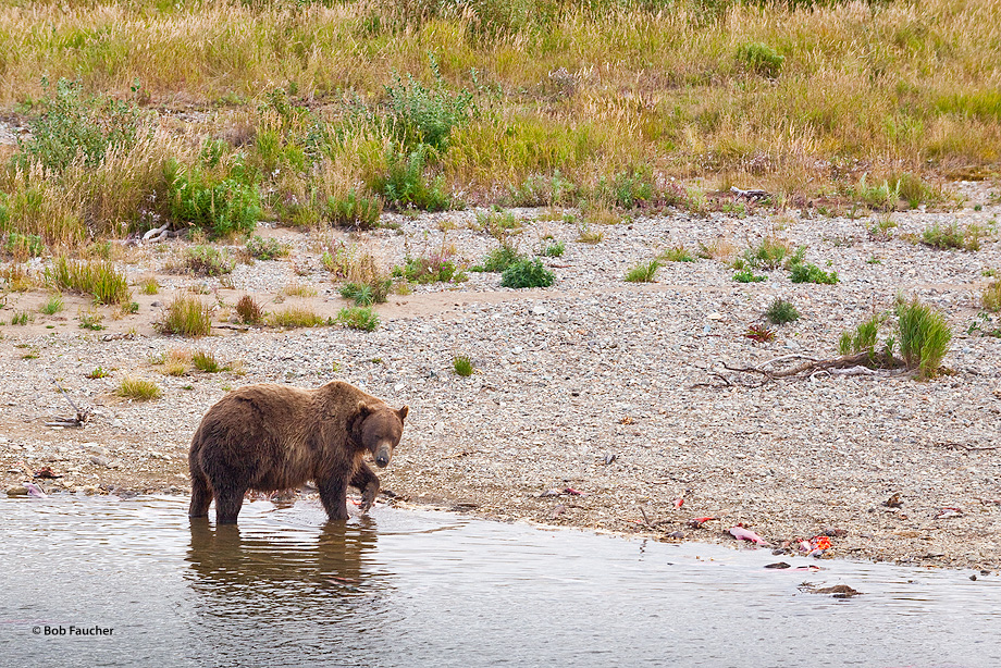 Brown bear foraging among the salmon carcasses lining the bank of Moraine Creek