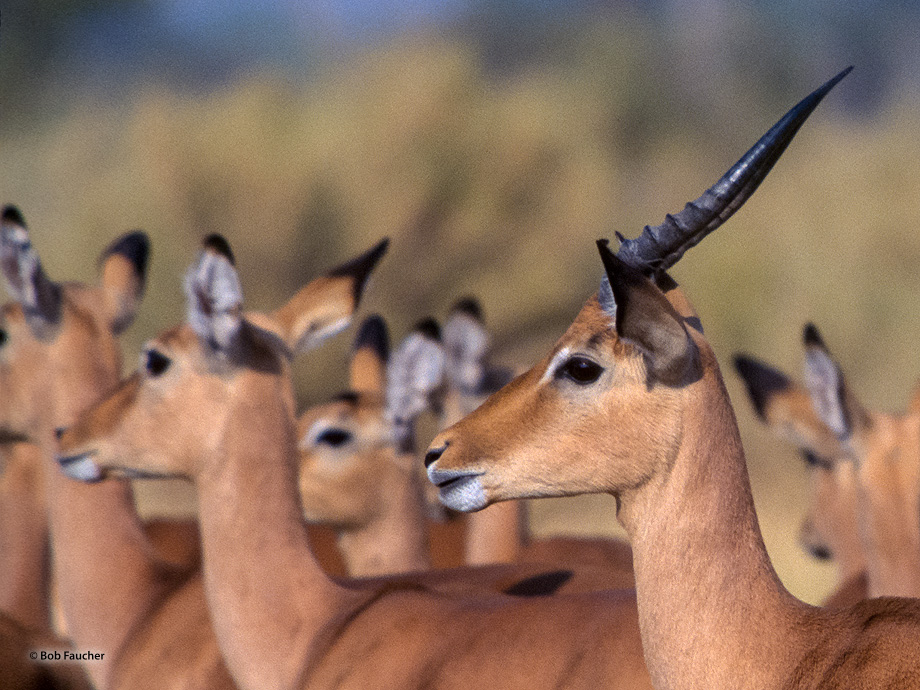 Male impala watching over his harem