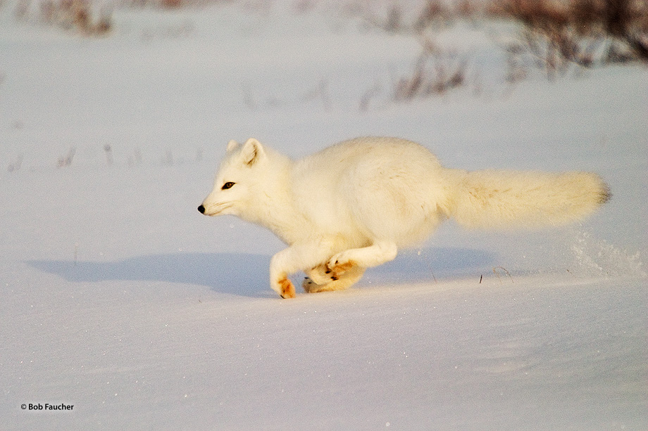 In the late afternoon a spirited Arctic fox (Vulpes lagopus) cavorts in the snow around the camp tempting the dogs, out of the...