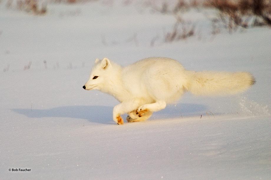 Churchill,Manitoba,arctic fox, photo