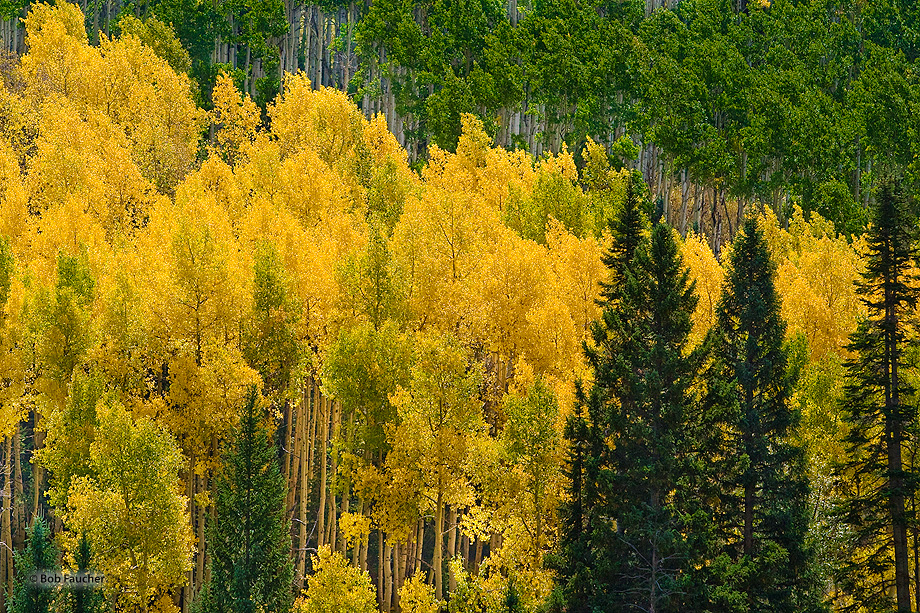 Broad swaths of green and yellow aspens are interrupted by a few conifers.