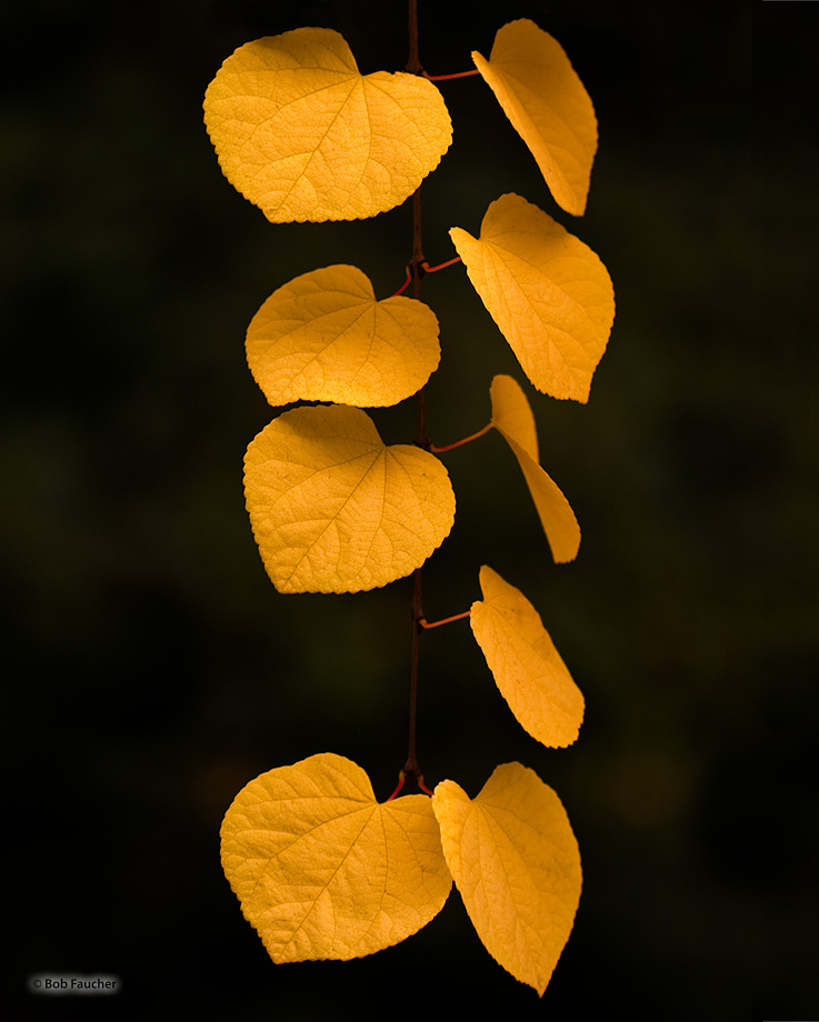 Cercidiphyllum Japonicum,autumn,leaves, photo
