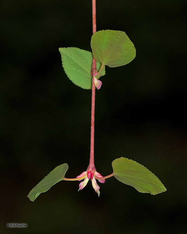 Cercidiphyllum Japonicum,Katsura,flower, photo