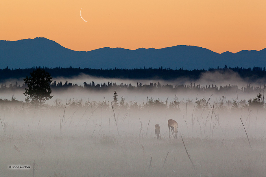 Caribou cow and calf graze on lichens in the wetlands along the Kenai River, blanketed in fog, at dawn with a waning crescent...