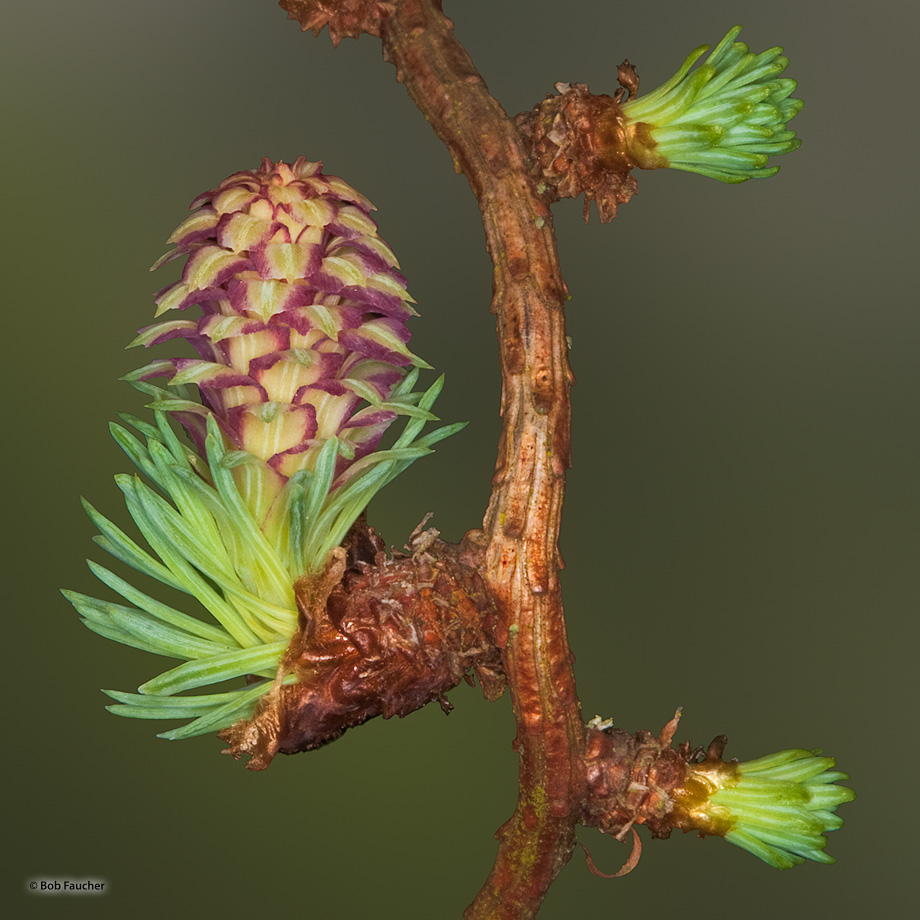 Golden Larch (Pseudolarix amabilis} cones are erect, small, 1-to-3 cm long, green or purple in the Spring. The Golden Larch is...