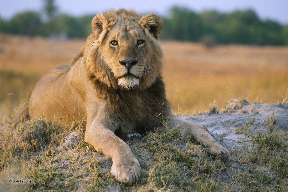 Botswana,Africa,lion,panthera leo, photo