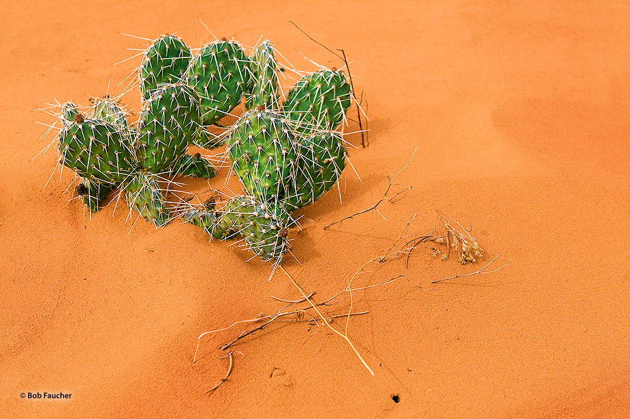 Burr Trail,Utah,prickly pear cactus,sand,desert,green,textures, photo