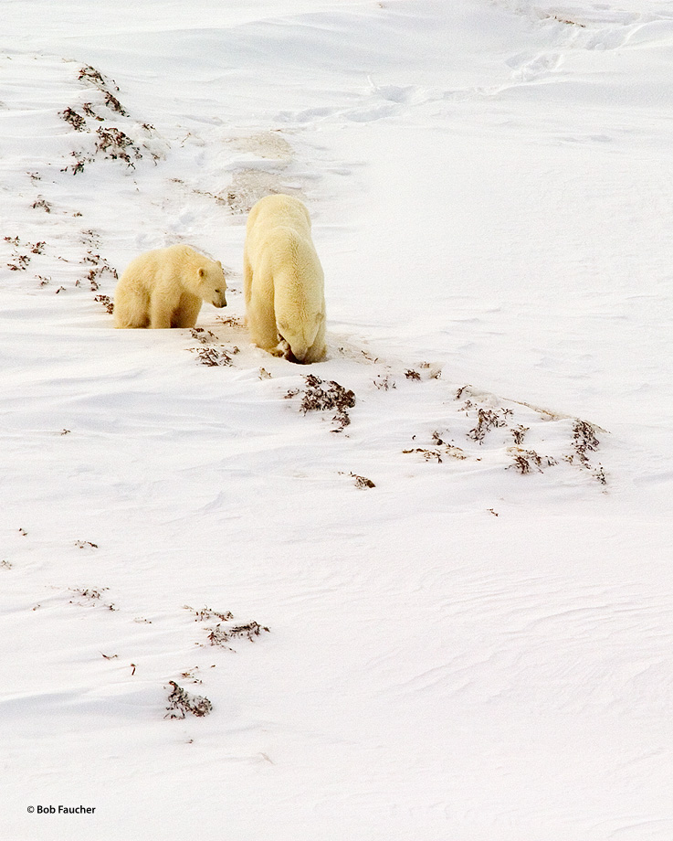A polar bear sow (Ursus maritimus) teaches her cub how to forage for food in the kelp