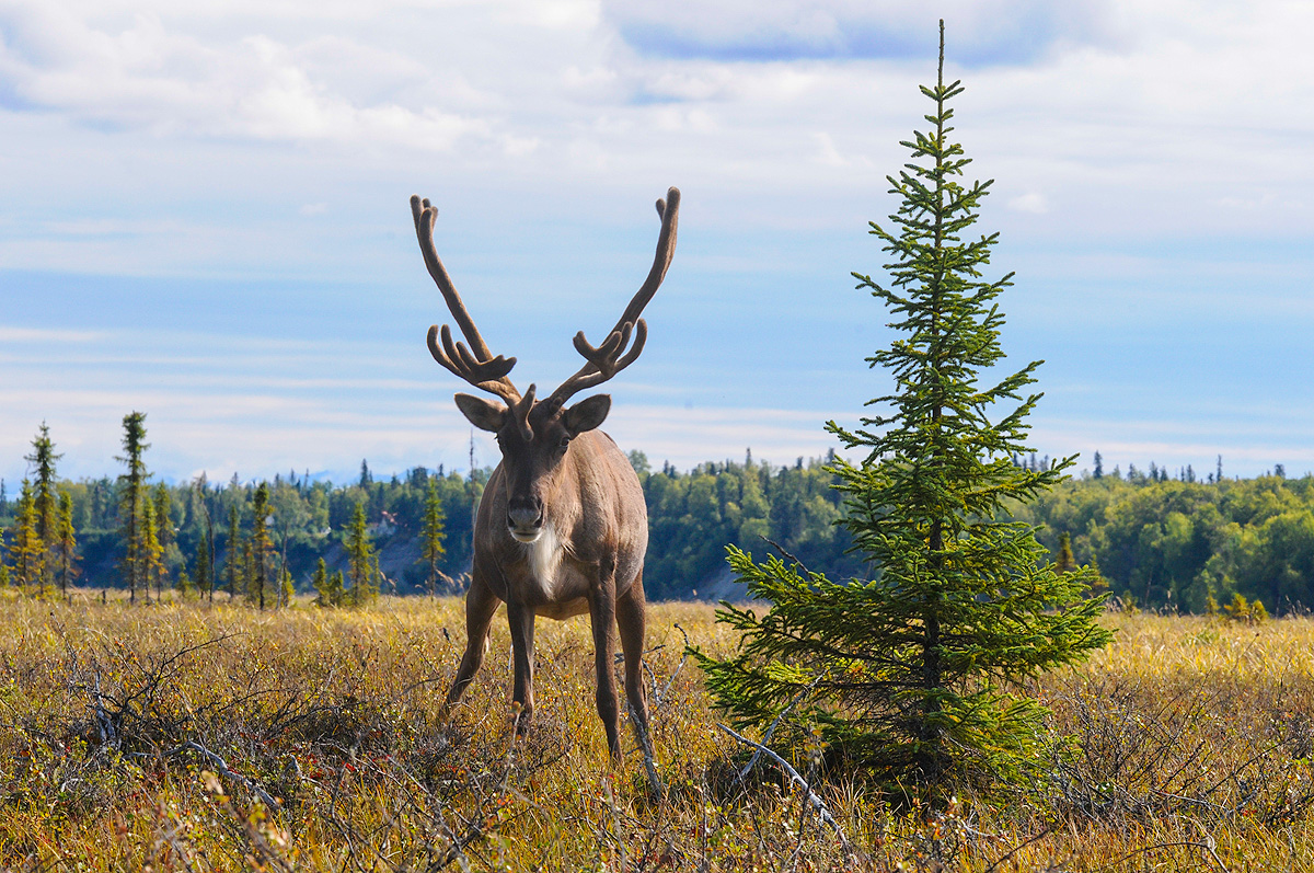 Male caribou confronts the photographer in the Kenai Wetlands. Photo © copyright by Michele Faucher.