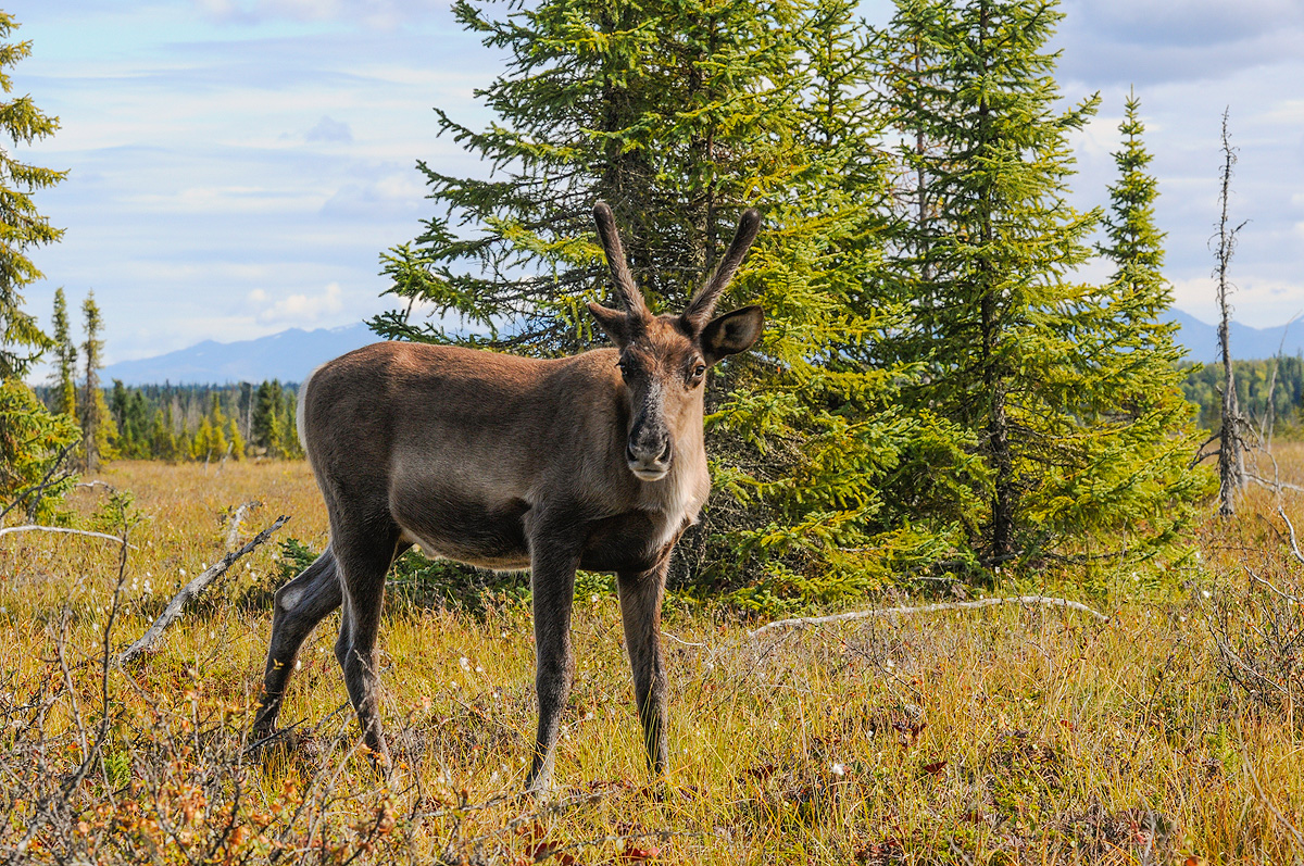 Cautious female caribou approaches the photographer in the Kenai Wetlands. Photo © copyright by Michele Faucher.