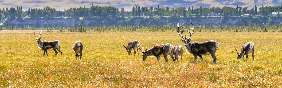 The Alpha male caribou maintains his vigilance over his harem of females and a couple of young males. Photo © copyright by Michele...