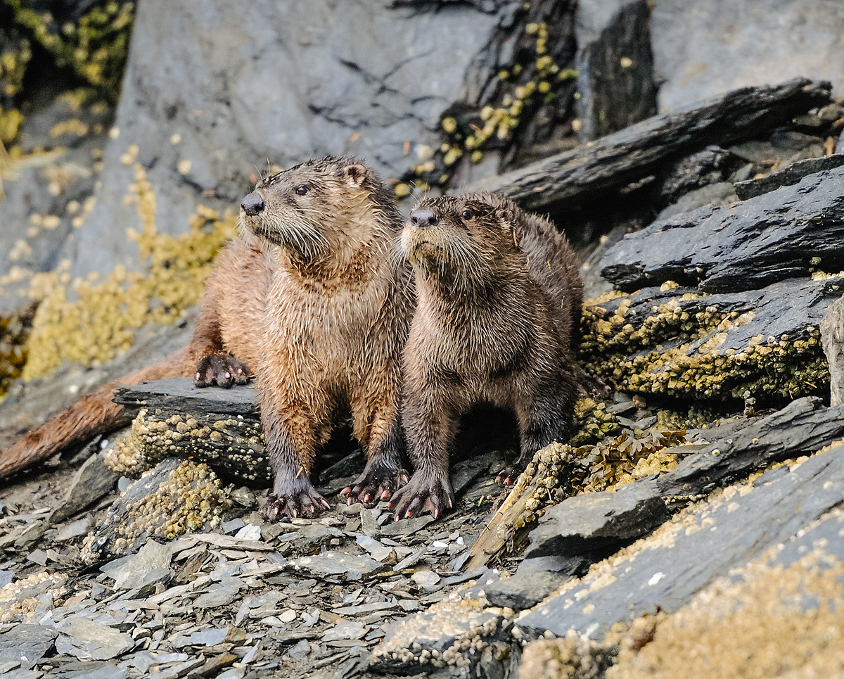Mother and young male otter pose for the photographer on the rocky shore of Markar Bay in the Kodiak archipelago. Photo © copyright...