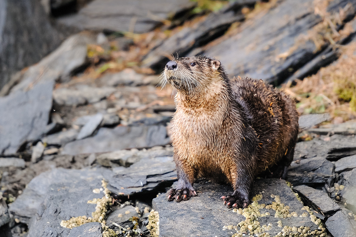 Otter keeps a close eye on the photographer who disturbed its rest on the rocky shore of Markar Bay in the Kodiak archipelago...