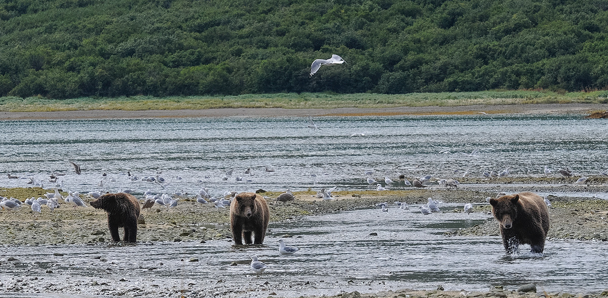 Mother and two cub Brown bears forage for clams and salmon on the beach at Geographic Harbor in Katmai NP, Alaska. Photo © copyright...