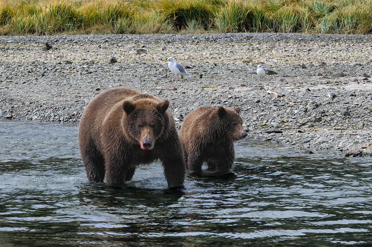 Mother Brown bear and her cub work the shalllow streams flowing into Geographic Harbor in Katmai NP, Alaska. Photo © copyright...