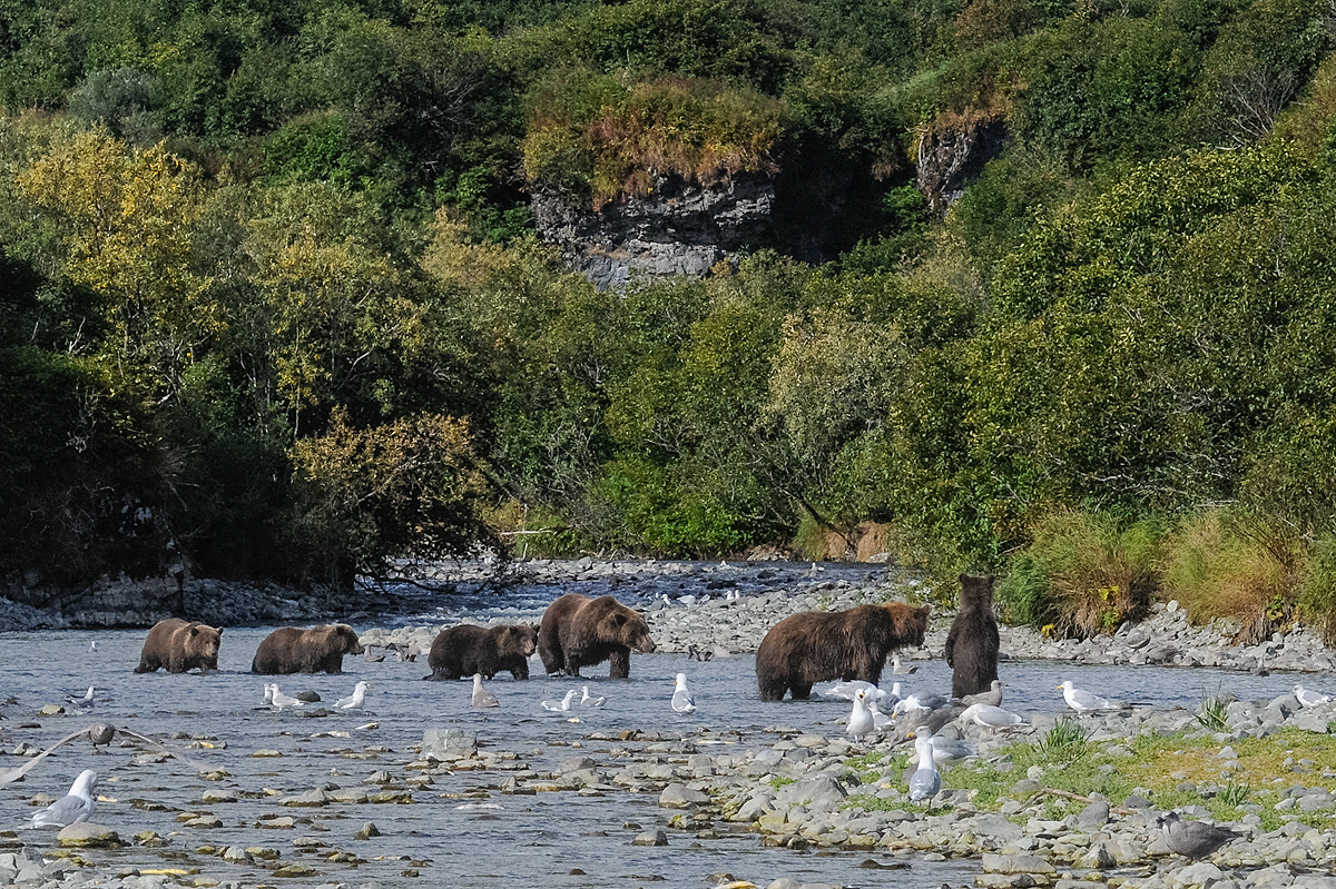 Two families of Brown bears, a mother and three cubs, and a mother with one cub, reluctantly share a fishing hole in a river...