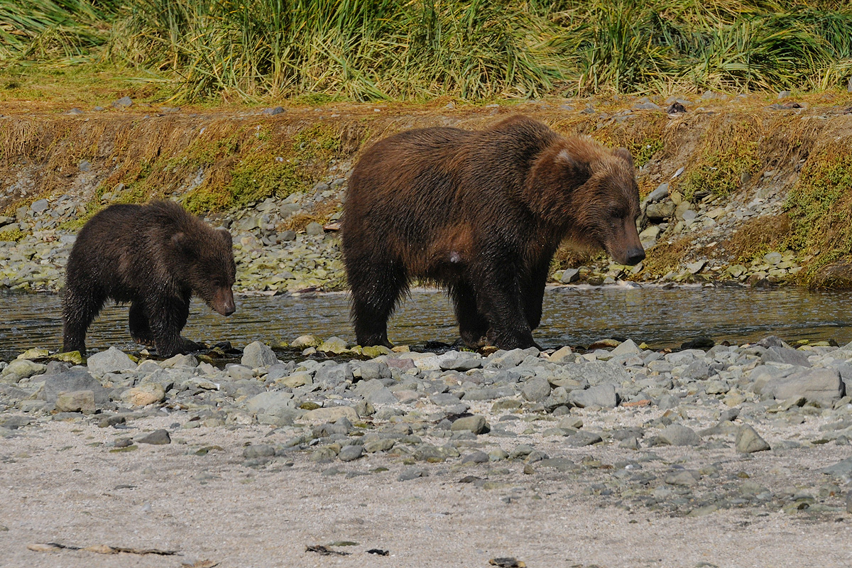Mother Brown bear and cub search for salmon along a river that flows through Geographic Harbor in Katmai NP. Photo © copyright...
