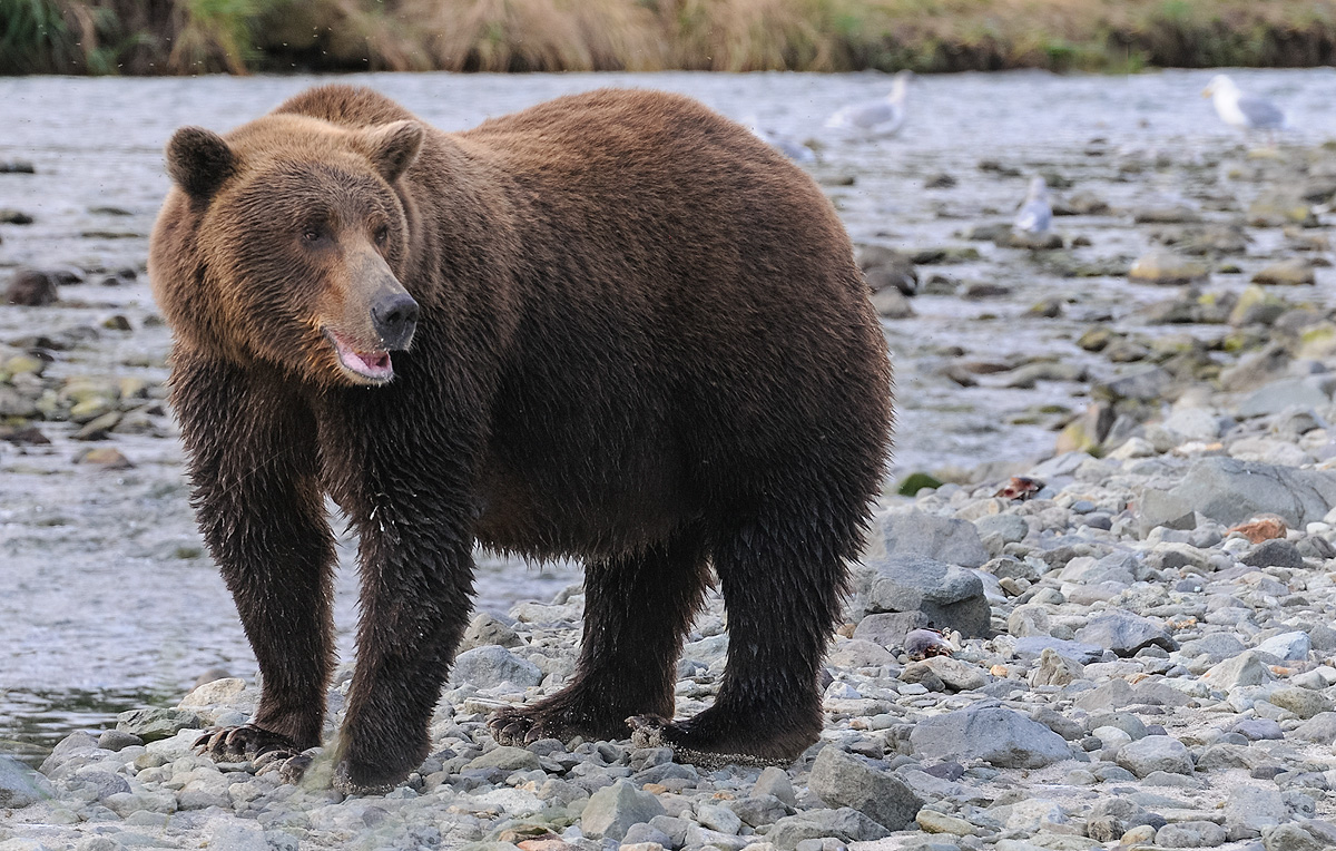 Young Brown bear looks to his mother while searching for salmon in a river flowing through Geographic Harbor in Katmai NP. Photo...