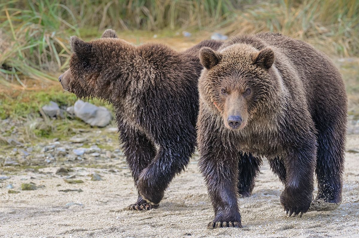 The photographer is given a menancing look by a brown bear indicating he is not comfortable with her proximity. If he was preparing...