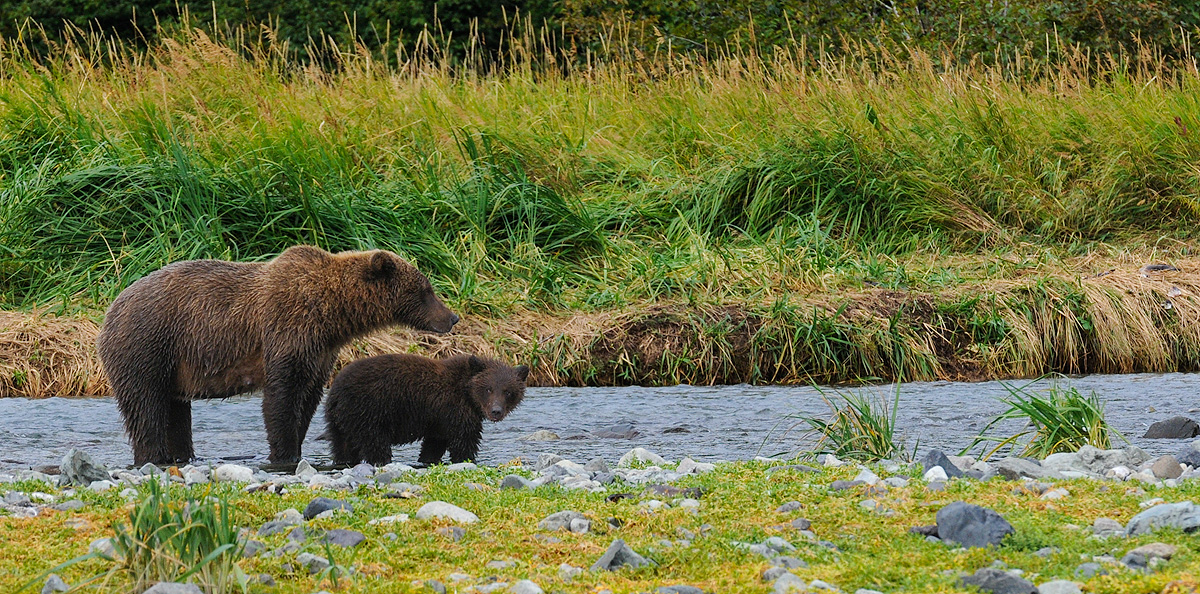 Mother Brown bear hovers over her cub, teaching it how to fish, protecting it from older males who are in the vicinity on a river...