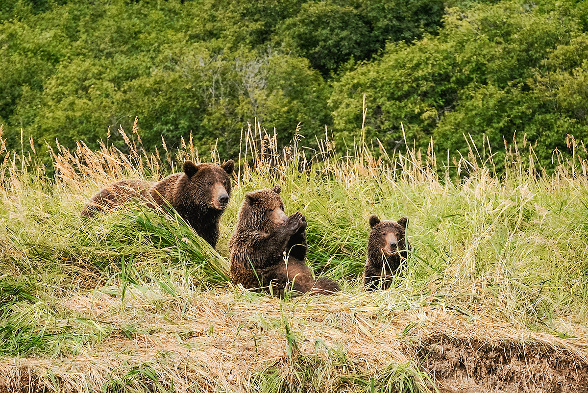 One of two cubs seems to be playing patty cake while the mother and sibling rest in the grass near a stream in Geographic Harbor...