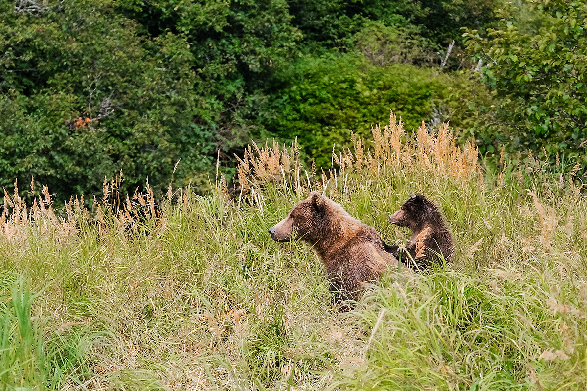 Young Brown bear cub peers over his mother's shoulder to see what has caught her attention. The sow is warning her cubs to be...