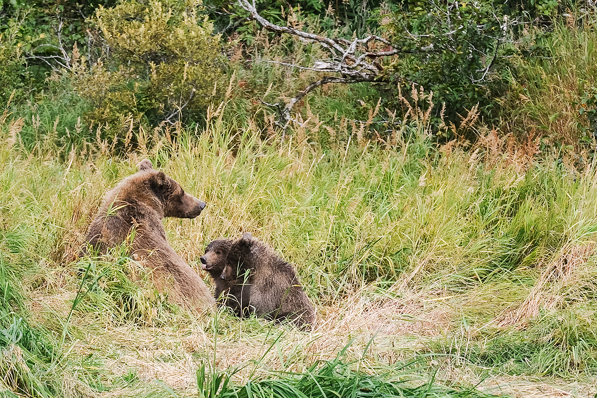Two Brown bear cubs confront their mother to allow them to nurse while they rest in the grass along a stream in Geographic Harbor...