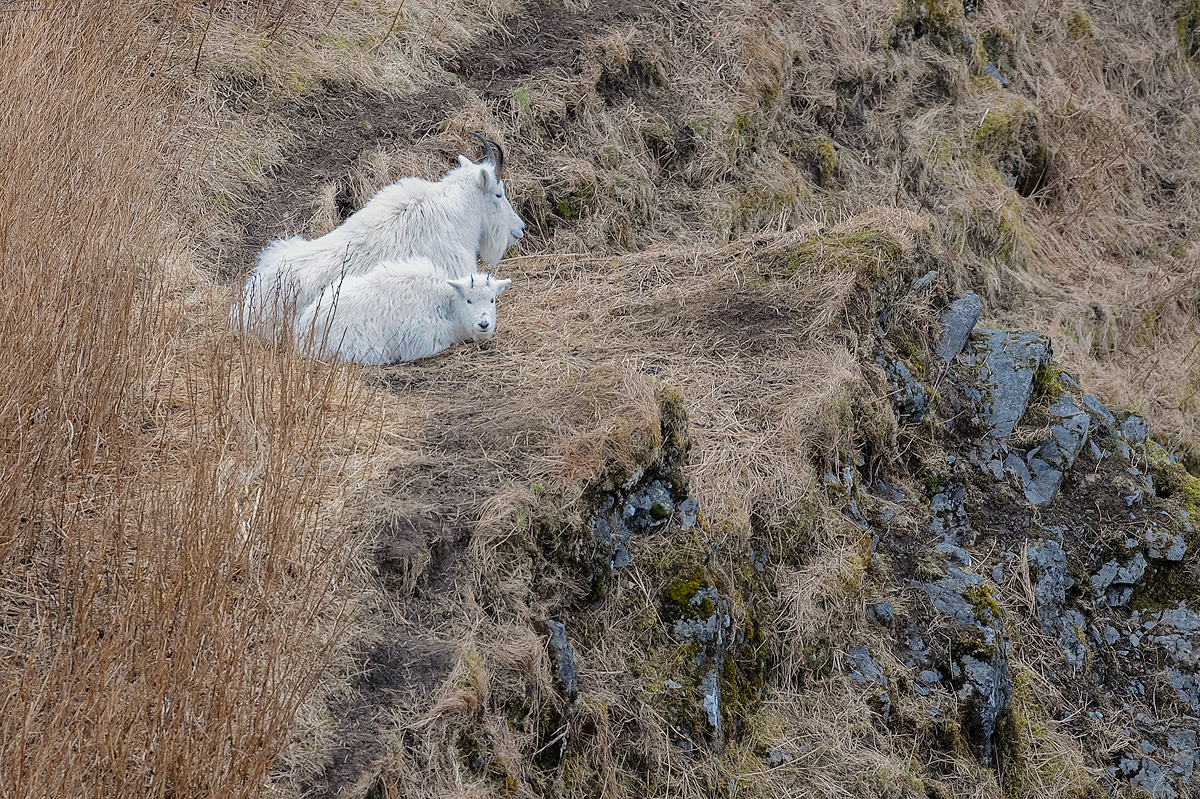 Adult and juvenile mountain goats rest on a wide spot of the trail up Heitman Mountin, high above Womens Bay on Kodiak Island...