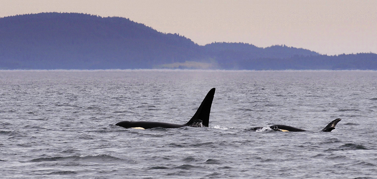 Mother Orca leads her calf through the strait between Kodiak Island and Whale Island, Alaska. Photo © copyright by Michele Faucher...