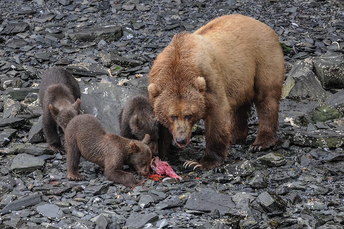 Mother Brown bear lets her three cubs feed on a hen salmon and its roe on the rocky beach of Kitoi Bay, Kodiak Island. Photo ©...