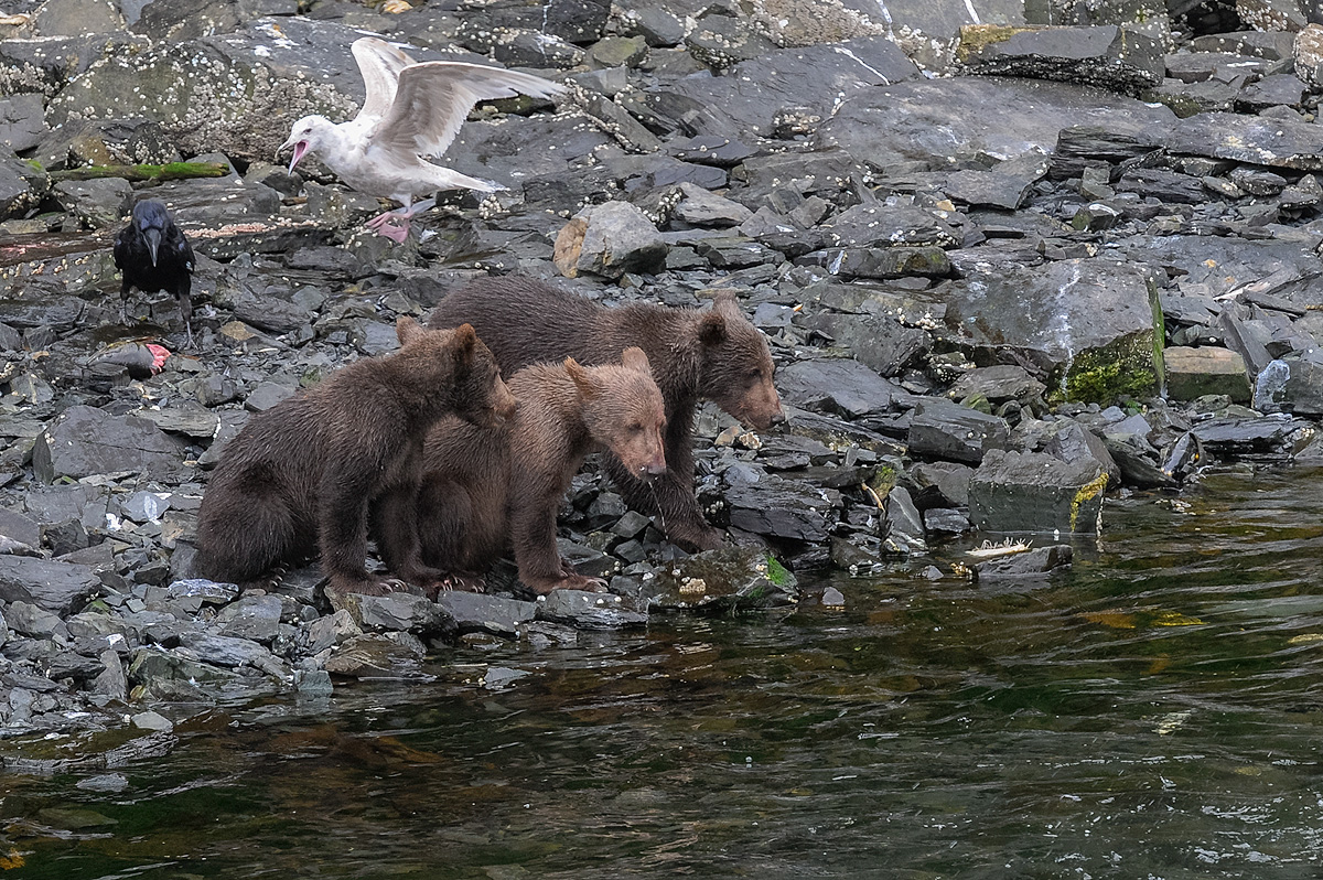 Three Brown bear cubs look mornfully at the salmon in the stream, hoping their mother will provide them with more to eat. Meanwhile...