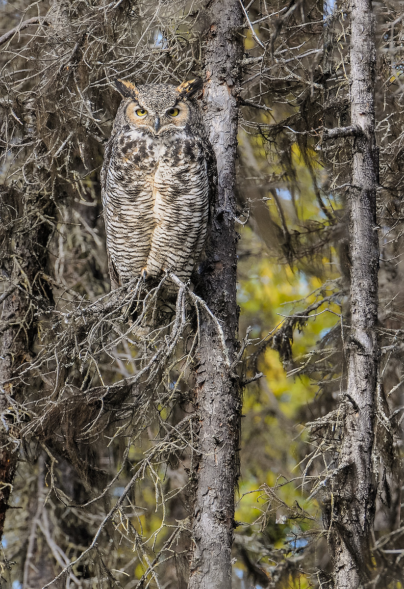 This Great Horned Owl was encountered in the woods along the Swanson River, Kenai Peninsula, Alaska. Photo © copyright by Michele...