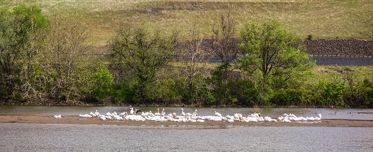Flock of White pelicans rest and preen on a sandbar in the Snake Riverr