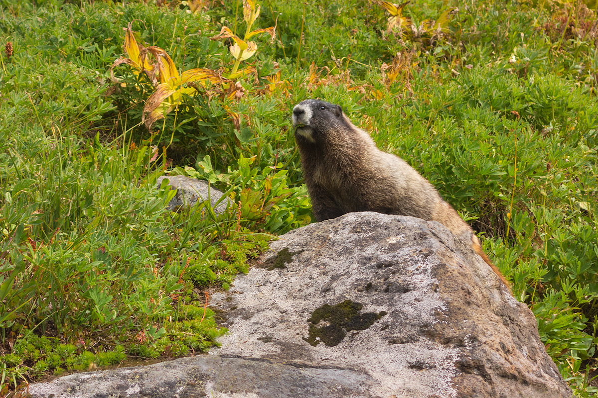 The hoary marmot, so called because of the mantle of white fur that covers its back, is a common sight for visitors to Mt. Rainier...