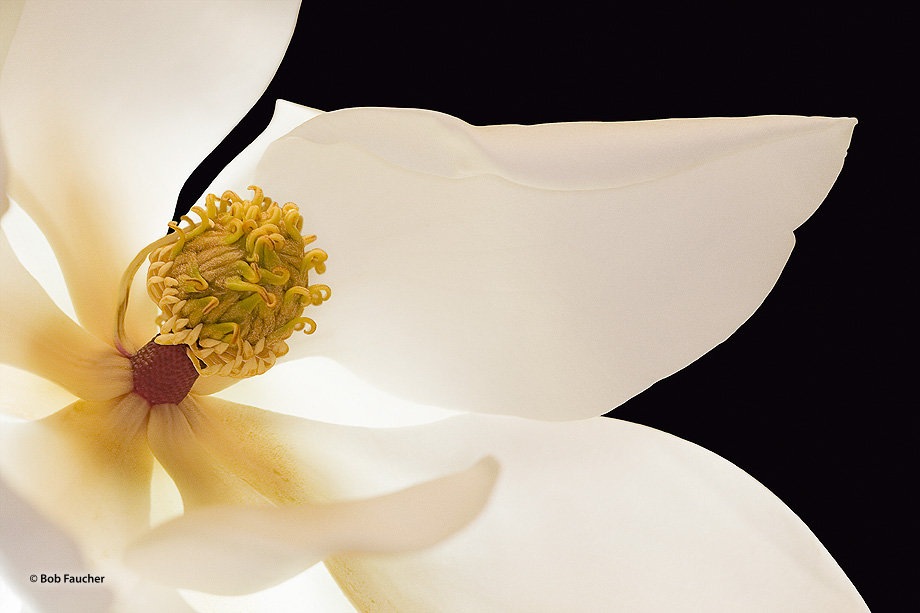 Magnolia Grandiflora, white flowers, photo