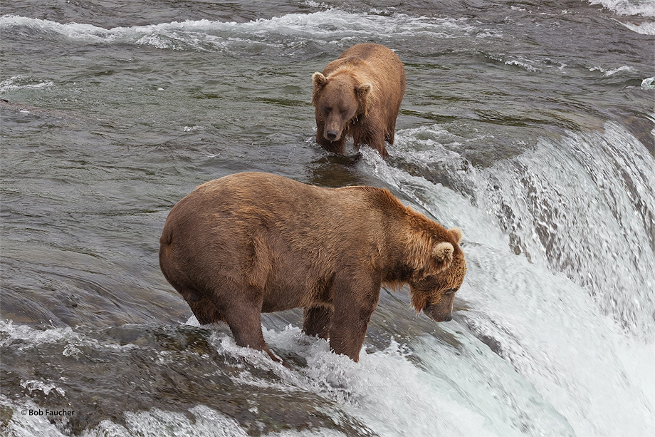 Young bear seeks acceptance within the older bear's zone of security
