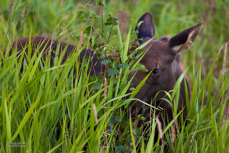 Young moose hides in the grass but carefully monitiors the photographer to assess his threat potential