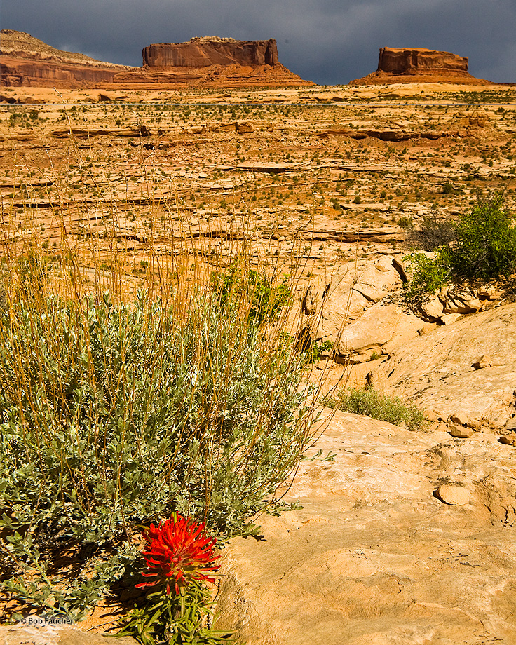 Canyonlands,Monitor Butte,Merrimac Butte,paintbrush bloom, photo