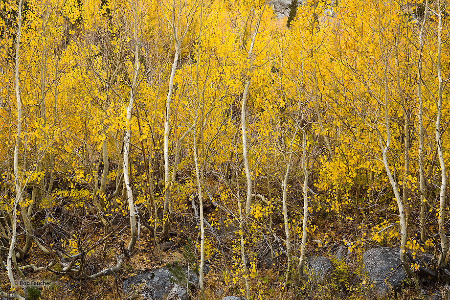 A colony of young aspens, with their twisted trunks and uniformly colored leaves, grows along the rocky shore of the South Fork...