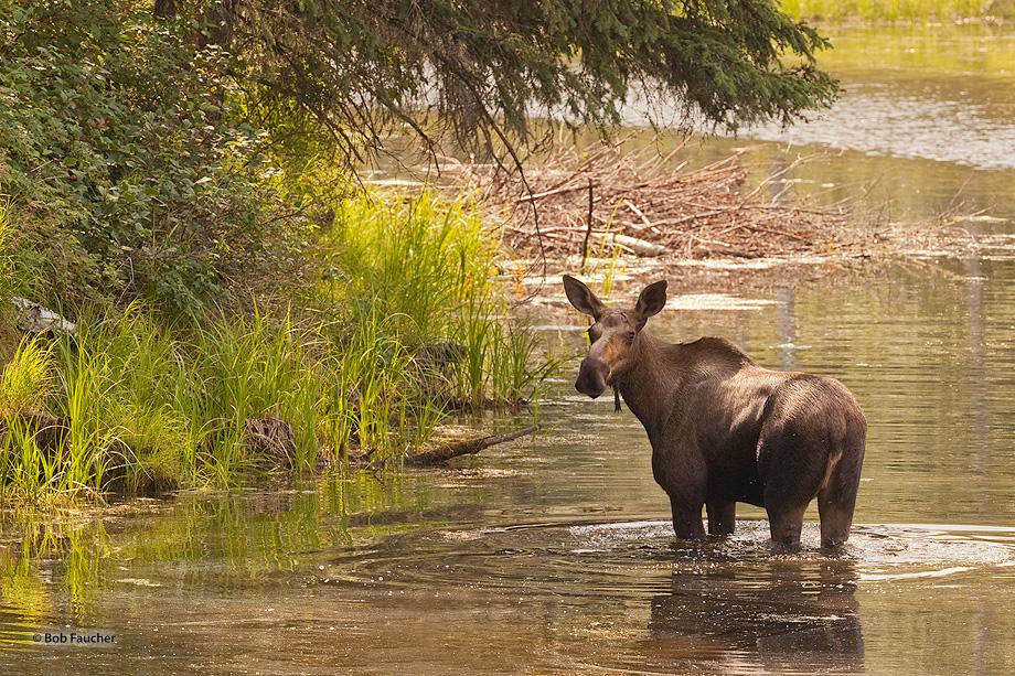 Moose,alces alces,cow,Chena River,Chena Hot Springs Road, photo