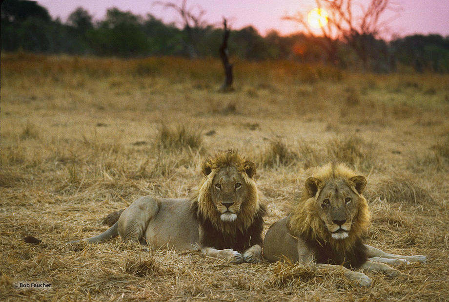Young male lions awakening on the savannah with the sun rising behind them