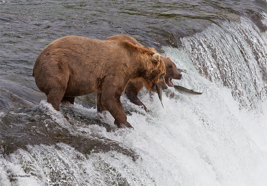 Brown (Grizzly) bear,Ursus Arctos,Brooks Falls,salmon,fishing,Katmai NP,Alaska Penninsula,Alaska, photo