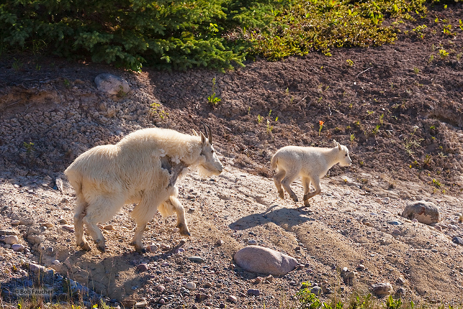 Mountain Goats,Oreamnos americanus,kids,Banff NP,Alberta,Canada, photo